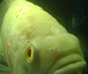 FAQs on Freshwater Lice, Argulus